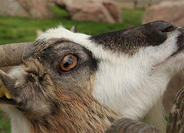 Gros plan sur une chèvre naine au parc Le PAL en Auvergne