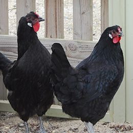 Deux poules de la Flèche au zoo Le PAL au cœur de l'Auvergne
