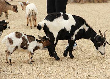 Bébé chèvre naine et sa maman au zoo Le PAL dans l'Allier