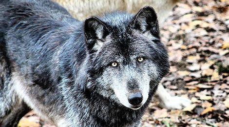 Kenaï, notre loup du Canada