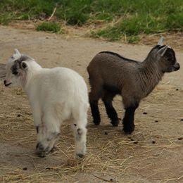 Deux petites chèvres naines blanche et noire au zoo Le PAL dans l'Allier