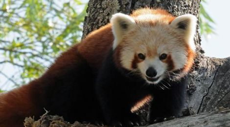 Naoki, notre panda roux