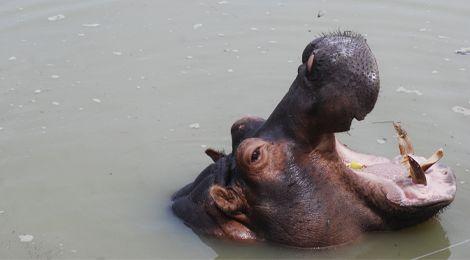 Image, notre hippopotame